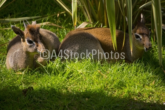 Dik dik deer resting in the shade