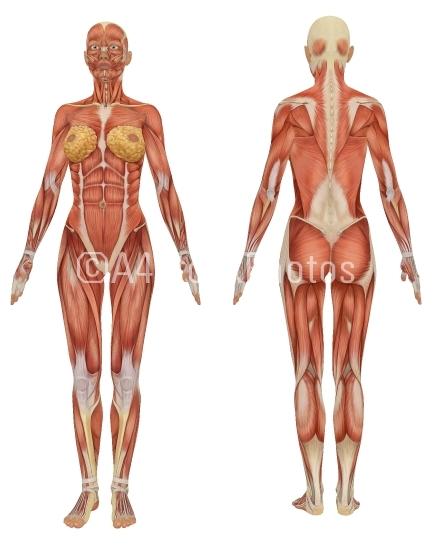 FemaleMuscularAnatomyFrontandRearView1