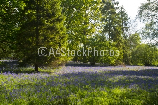 Forest clearing with bluebells