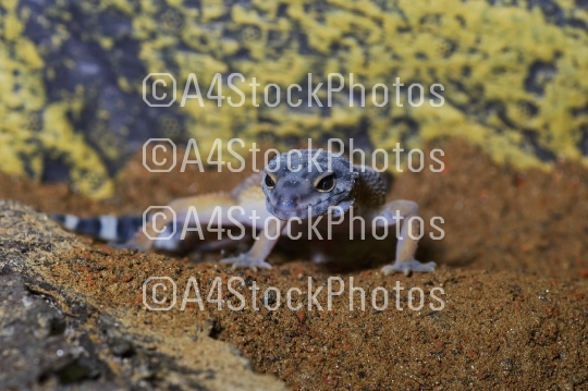 Portrait of the leopard gecko (Eublepharis macularius) on sand