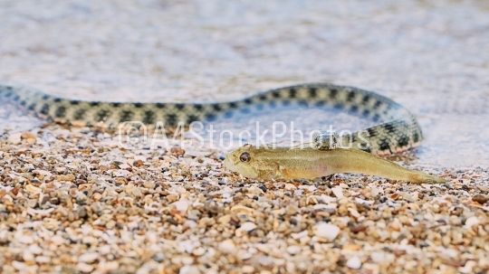 Water snake swallows fish on the seashore